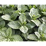 "Grapefruit Mint - Grow Indoors or Out - Live Plant - 3"" Pot"