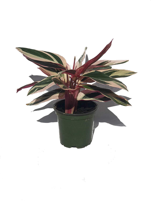 Tricolor Prayer Plant - Stromanthe Triostar - Easy to Grow House Plant - 4'' Pot