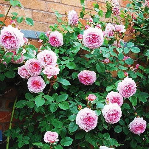 100 piezas raras semillas de rosal hermosas semillas de flores en maceta balcón planta jardín diy hogar jardín fácil de cultivar: Amazon.es: Jardín