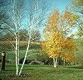 New Paper Birch , Betula papyrifera , Tree 50 + Seeds ( Fast , Hardy , Fall Color )
