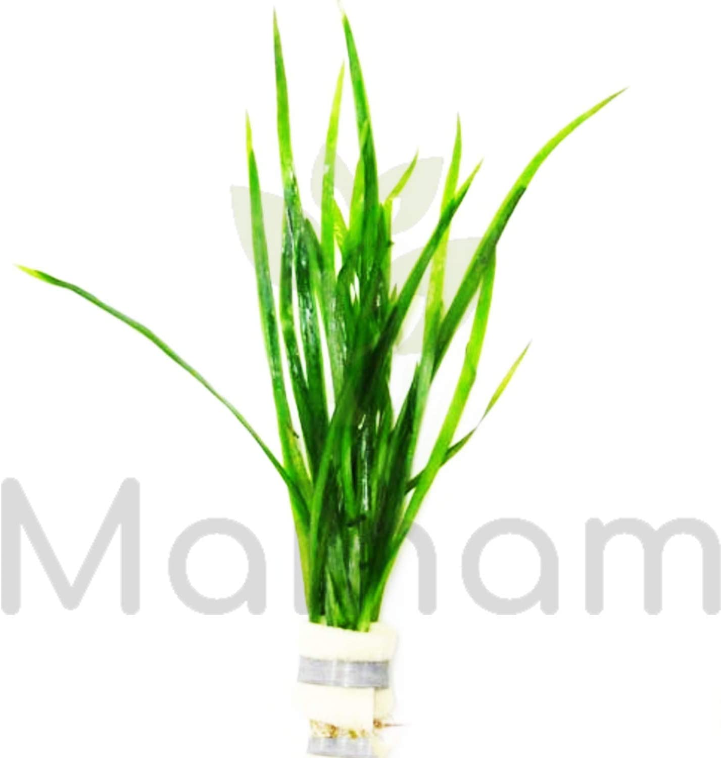 Mainam Jungle Vallisneria Spiralis Rooted Easy Background Live Aquarium Plants Decorations 3 DAYS LIVE GUARANTEED By