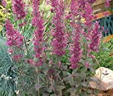 20 Agastache Seeds 'BOLERO,Hummingbird and butterfly favorites.Mosquito Hyssop .