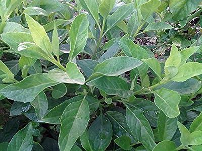 """Cholesterol Moluccan Spinach - Dawn Dewa - Gynura - Edible Houseplant - 4"""" Pot"""