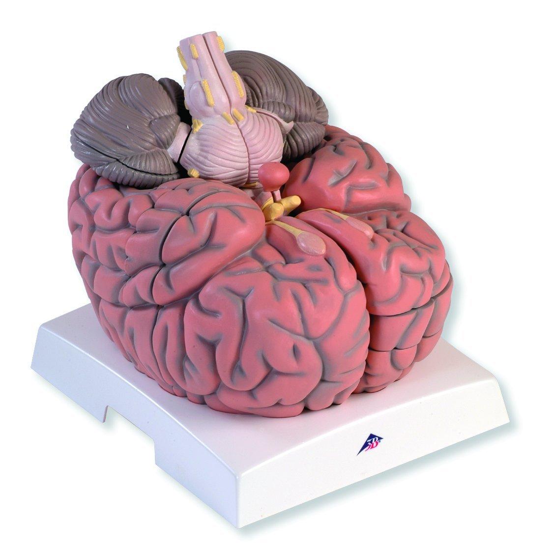 3B Scientific VH409 14 Part Giant Brain Model, 2.5 Times Full-Size ...