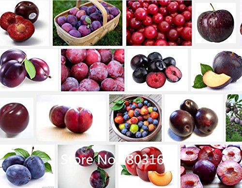 (Professional Packs, 20 Seeds/Pack, Delicious Round Plums Fruit Tree Seeds + Good Quality + Mysterious Gift Garden Bonsai Plant)