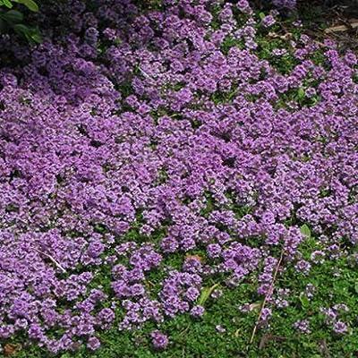 Thymus pulegioides Blooming Lemon Thyme, Walk on Me Plant, Bulk - Professional Grower - 5, 000 Seeds : Garden & Outdoor