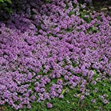 Thymus pulegioides Blooming Lemon Thyme, Walk on Me Plant, Bulk - Professional Grower - 5,000 Seeds