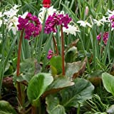 Heartleaf Bergenia Flower Seeds (Bergenia Cordifolia) 15+Seeds