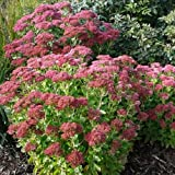 50 Seeds of Sedum Spectabile 'Autumn Joy', Stonecrop - Succulent Perennial with Red Winter Color