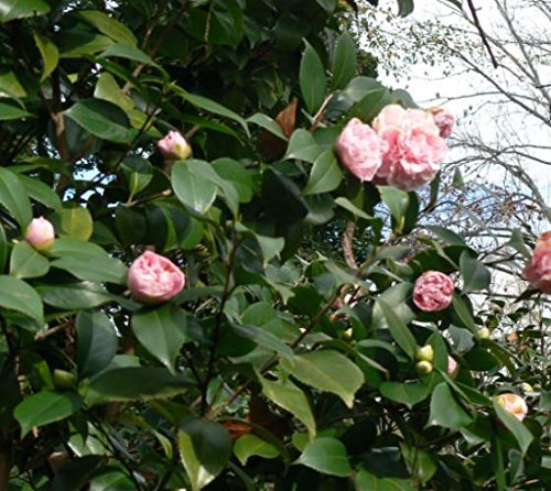 Debutante Pink Camellia Japonica - Live Plant - Quart Pot