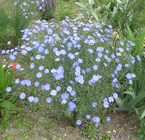 1500 Seeds - Earthcare Seeds Blue Flax 1500 Seeds (Linum lewisii) Non GMO, Heirloom