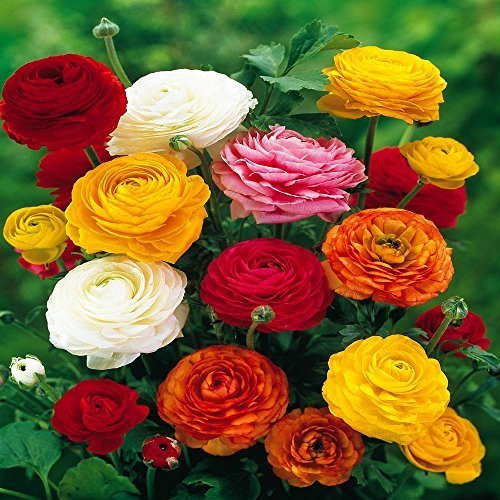 Ranunculus Asiaticus, Mixed Colors (20 -