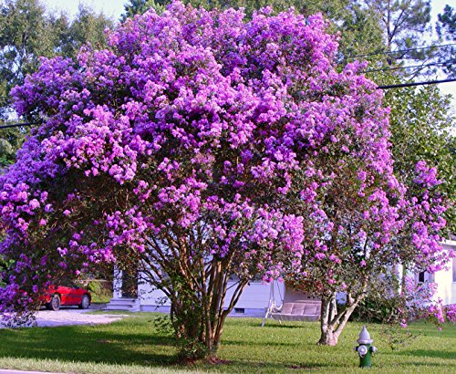 purple crepe myrtle - 8