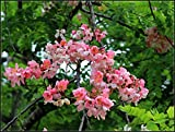10 Seeds Cassia javanica Ornamental Apple Blossom Cassia Tree