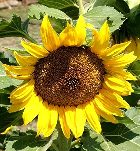 Sunflower Dwarf Sunspot Seeds Heirloom Short Bedding Yellow Flower Bee Bird 1 lb seed