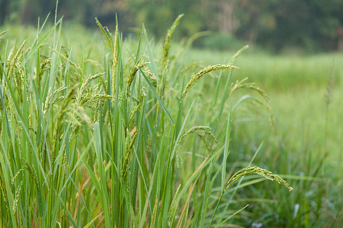 Upland Rice Seeds Oryza Sativa Rare Heirloom Dryland Growing or Containers 30 Premium Seeds by SS0044 (Image #1)