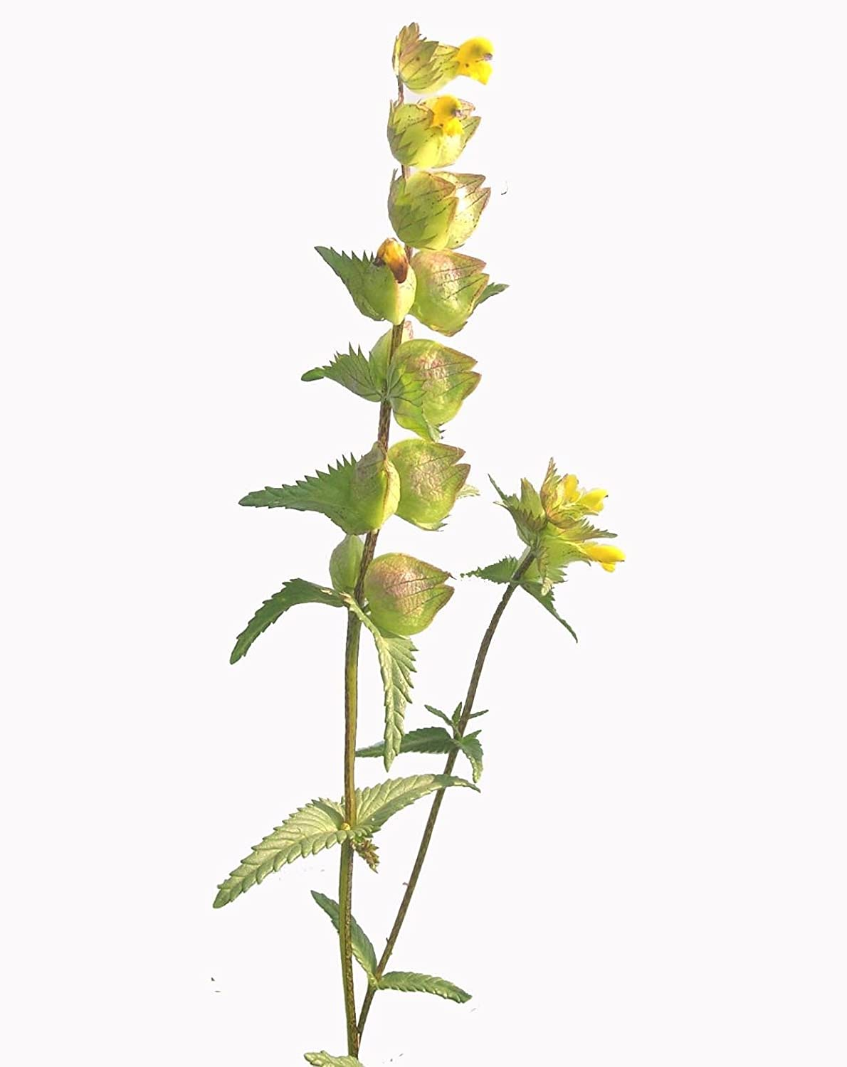 2018 Yellow Rattle Seed 20grams/ approx 6000 seeds, covers 20m2+ Goren farm Seeds