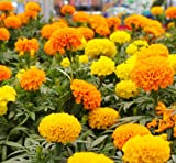 Earthcare Seeds MARIGOLD CRACKERJACK 500 Seeds (Tagetes erecta) Non-GMO - Heirloom