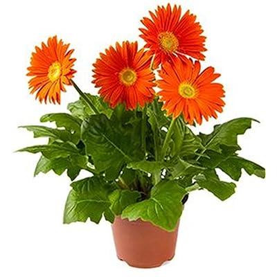 Gerbera Flower 20 Seeds Mix Color : Garden & Outdoor