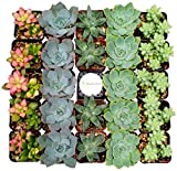 Shop Succulents Premium Pastel Succulent (Collection of 64)