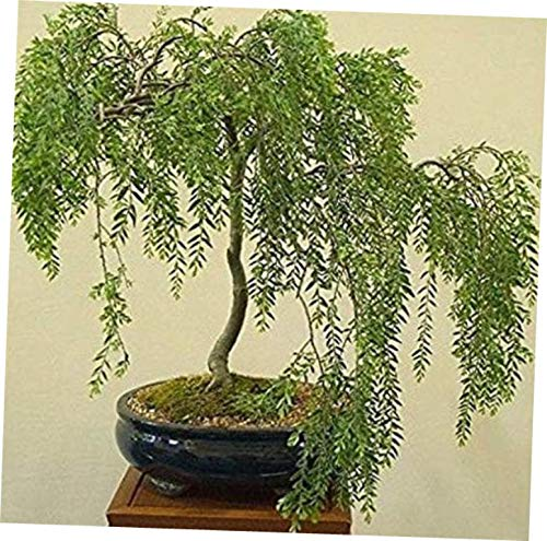 KLY 1 Bare Root Golden Weeping Willow Bonsai - LY510 by KLY