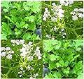 (150) Chervil Herb seeds - Anthriscus cerefolium