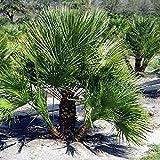 Mediterranean Fan Palm Seeds (Chamaerops humilis) (10)