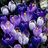 Blue Moon Mix Crocus 20 Bulbs - Blues and Purples - 8/9cm Bulbs