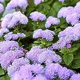 Agerantum, Floss Flower seeds - Ageratum houstonianum Mill.