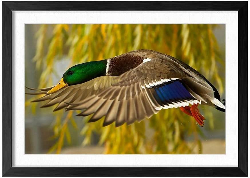 Wild Duck Flying Close Up Black Frame Art Print Poster, Home Wall Decor(14x20 inch)