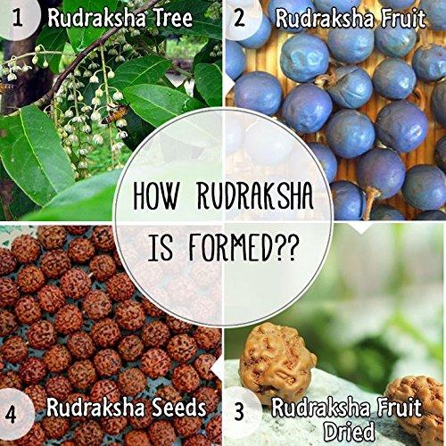 Imagini pentru rudraksha fruit tree