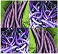 20 ROYAL BURGUNDY Bush Bean seeds great for eating raw cooked freezing PURPLE