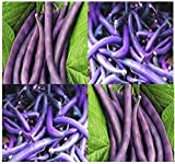 buy 20 ROYAL BURGUNDY Bush Bean seeds great for eating raw cooked freezing PURPLE now, new 2018-2017 bestseller, review and Photo, best price $3.30
