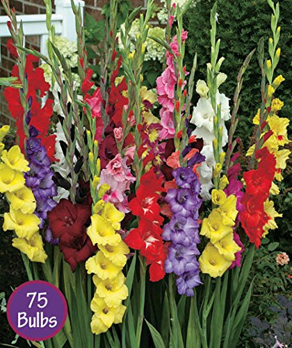 Easy to Grow Gladiolus Bulbs