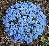 Ageratum- Blue- 100 Seeds