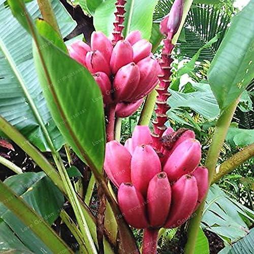 Bloom Green Co. 100 Pcs Banana Bonsai Fruit Bonsai Rare Big Hainan Pink Banana Bonsai Musa Velutina Dwarf Pink Banana Bonsai Potted plant