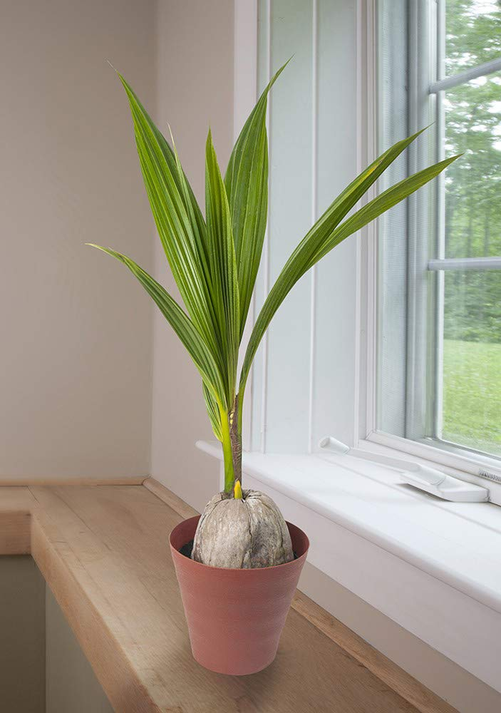 AMERICAN PLANT EXCHANGE Coconut Palm Tree Exotic Indoor/Outdoor Tropical Specimen Live Plant, 6'' 1 Gallon Pot, Cocos Nucifera by AMERICAN PLANT EXCHANGE (Image #2)