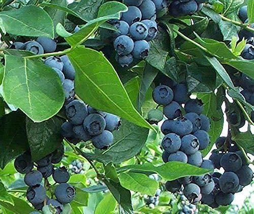 Premier Blueberry Bush - Hardy Perennial