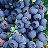 100 bluecrop Northern highbush Blueberry Plant Bush Seeds Organic Fruit