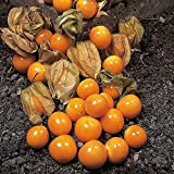 Cape Gooseberry Ground Cherry Seeds - hundreds of fruit on each plant. !!!!(100 - Seeds)
