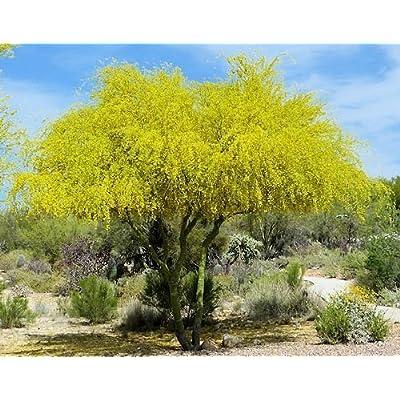 -15 Seeds Cercidium Parkinsonii Parkinsonia Aculeata palo Verde Tree : Garden & Outdoor