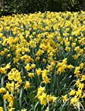 Yellow Daffodils 500+ Bulbs - Bulk Landscaper Quality Wholesale Quantities