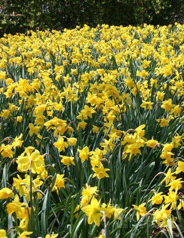 Yellow Daffodils 500+ Bulbs - Bulk Landscaper Quality Wholesale Quantities by Willard & May