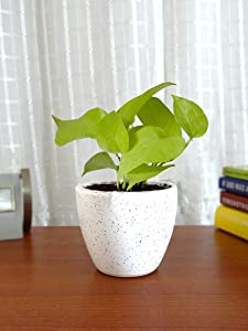 Rolling Nature Good Luck Air Purifying Live Golden Money Plant in White Round Dew Ceramic Pot