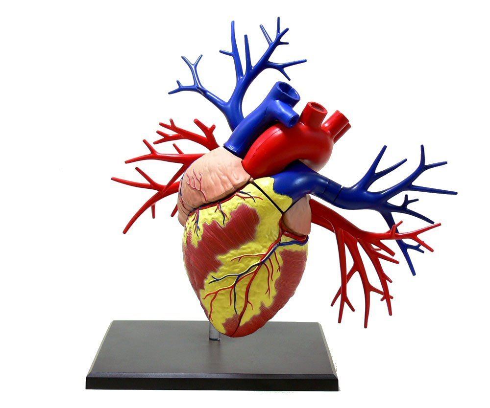 青島文化教材社 4D 4D VISION B008AF293I 19DX心臓解剖モデル VISION B008AF293I, 栄進堂:fcebf3e3 --- m2cweb.com