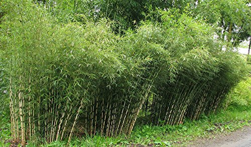 Rare Fresh Umbrella Bamboo (Fargesia Spathacea Franch) 100+ seeds US SELLER