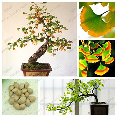 Planting Ginkgo Tree (Hot Sale! Ginkgo seeds in bulk, Edible fruit ginkgo, ginkgo tree potted landscape for 100% true seed,5 pcs / bag)