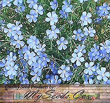 Amazon 1 500 blue flax flower seeds lewis flax attracts birds 1500 blue flax flower seeds lewis flax attracts birds butterfly perennial mightylinksfo