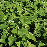 David's Garden Seeds Cover Crop Buckwheat IS0995 (White) Organic Seeds One Pound Package