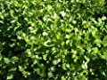 David's Garden Seeds Herb Chickweed Common SL8337 (Green) 100 Non-GMO, Open Pollinated, Organic Seeds